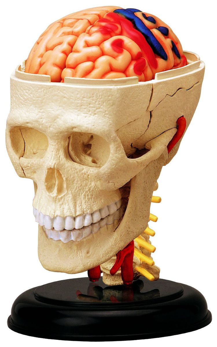 Jeronimo Human Anatomy - Cranial Nerve Skull Anatomy Model | Buy ...