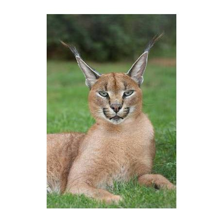 Caracal Desert Lynx Wild Cat Journal Buy Online In South Africa
