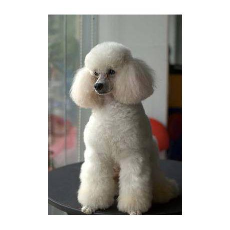 Beautiful White Miniature Poodle Dog Journal