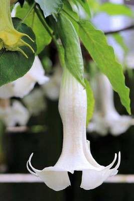 Brugmansia white angel trumpet flower journal buy online in south brugmansia white angel trumpet flower journal loading zoom mightylinksfo