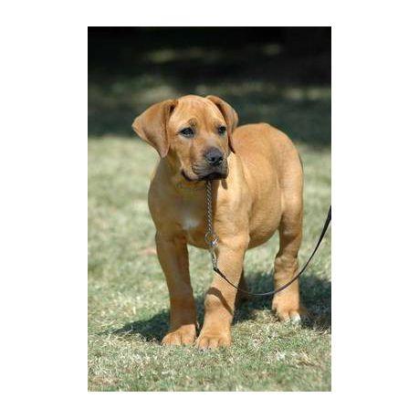 Boerboel South African Mastiff Puppy Dog Journal