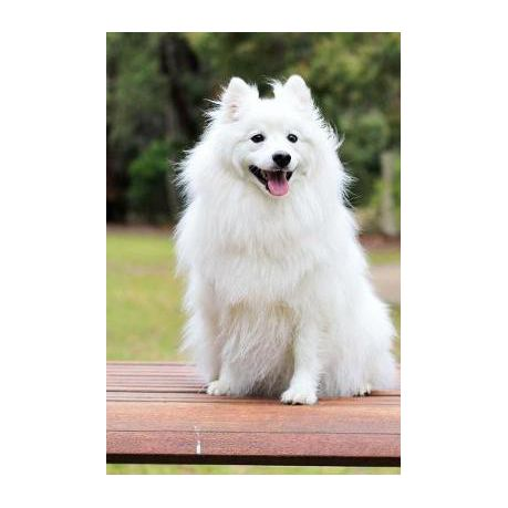 White Spitz Puppy Goldenacresdogs