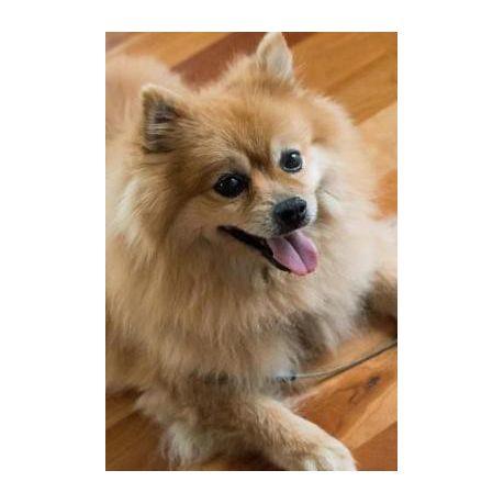 Fluffy Happy Pomeranian Dog Pet Journal Buy Online In South Africa