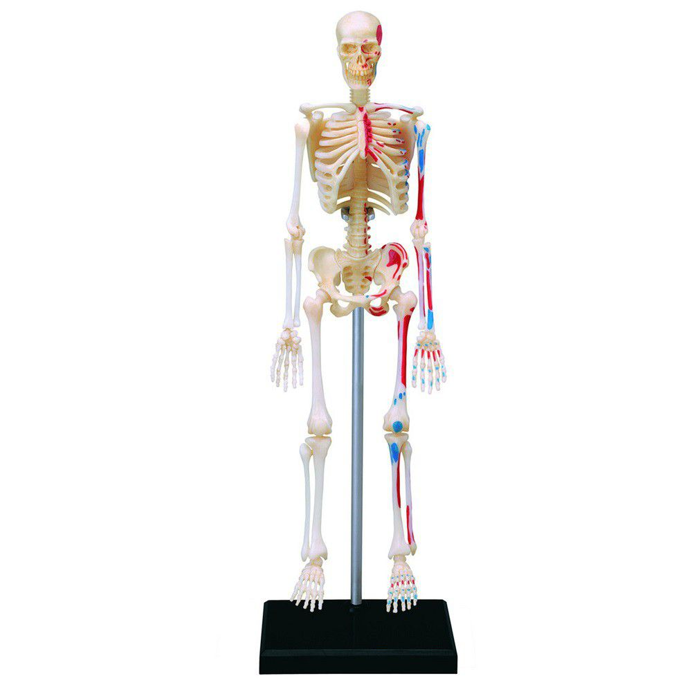 Jeronimo Human Anatomy - Skeleton Model | Buy Online in South Africa ...