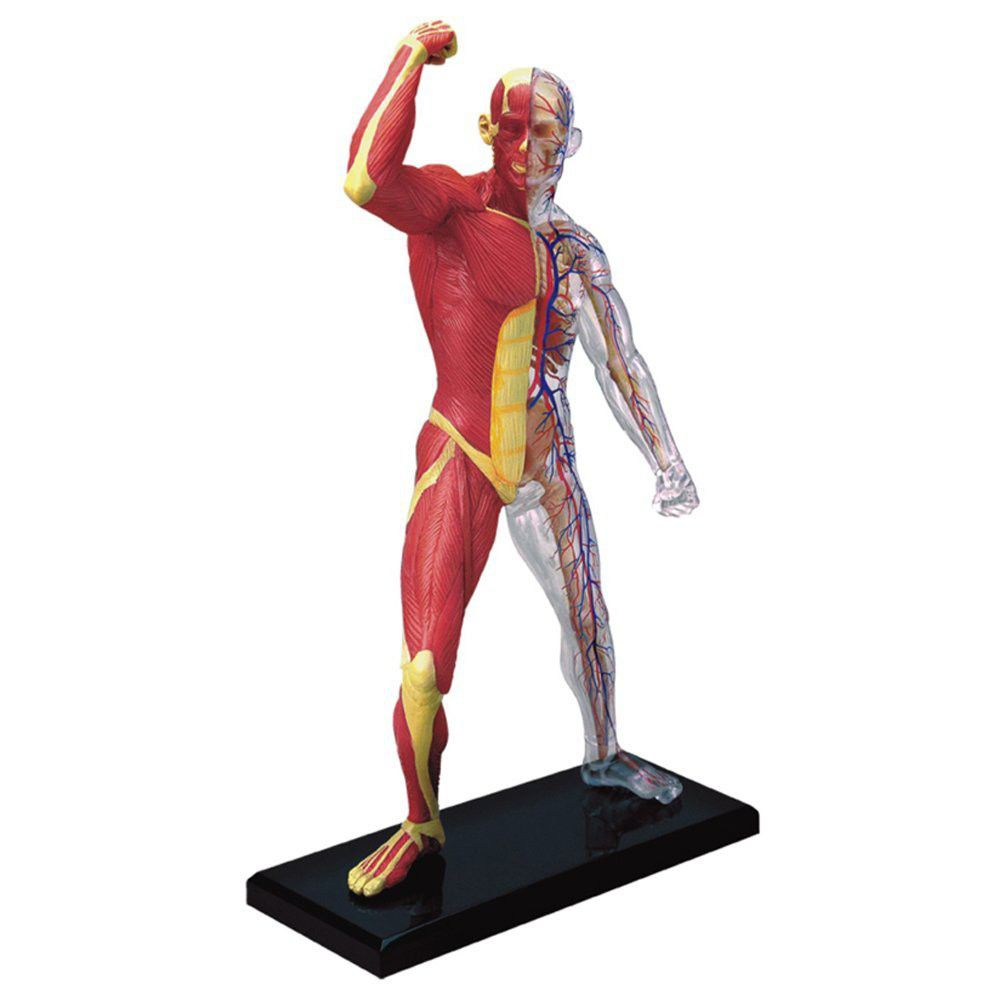 jeronimo human anatomy - human muscle & skeleton model | buy, Skeleton
