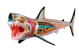 Animal Anatomy: Shark