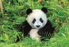 Educa Panda Bear - 500 Piece