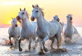 Educa White Horses At Sunset - 1000 Piece