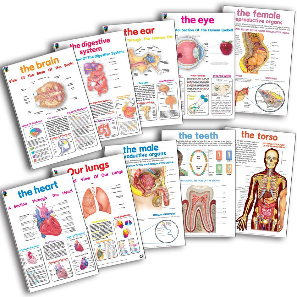 Educat Poster Pack - Human Anatomy | Buy Online in South Africa ...